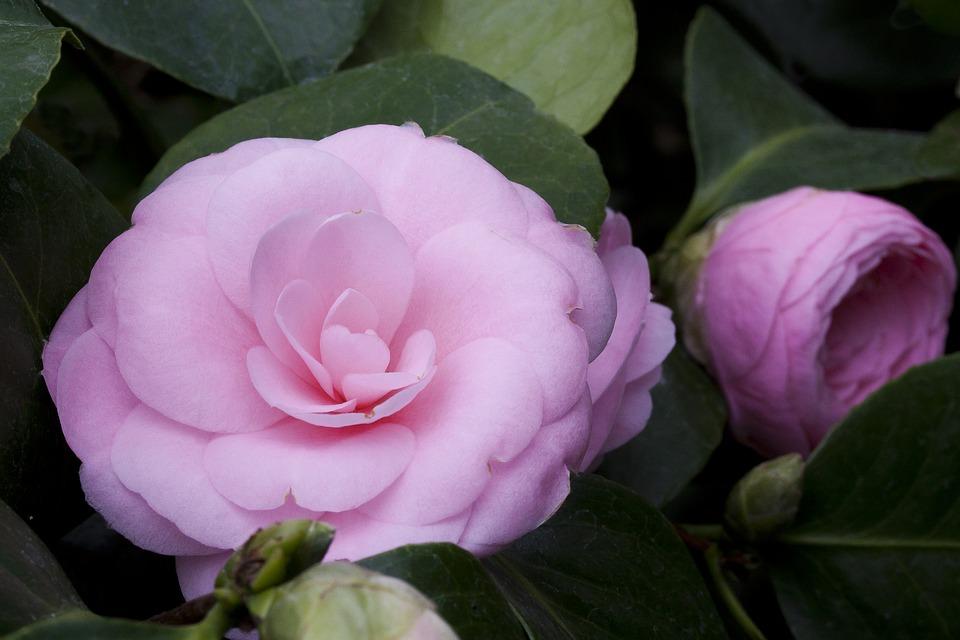 camellia-japonica-1302651_960_720.jpg