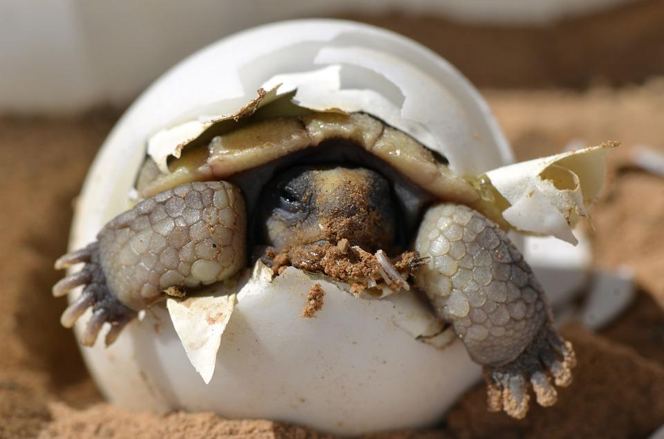 desert-tortoise-987972_960_720.jpg