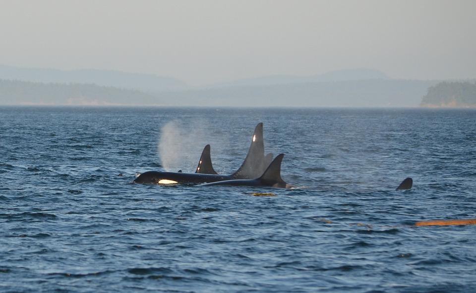 orca-596877_960_720.jpg