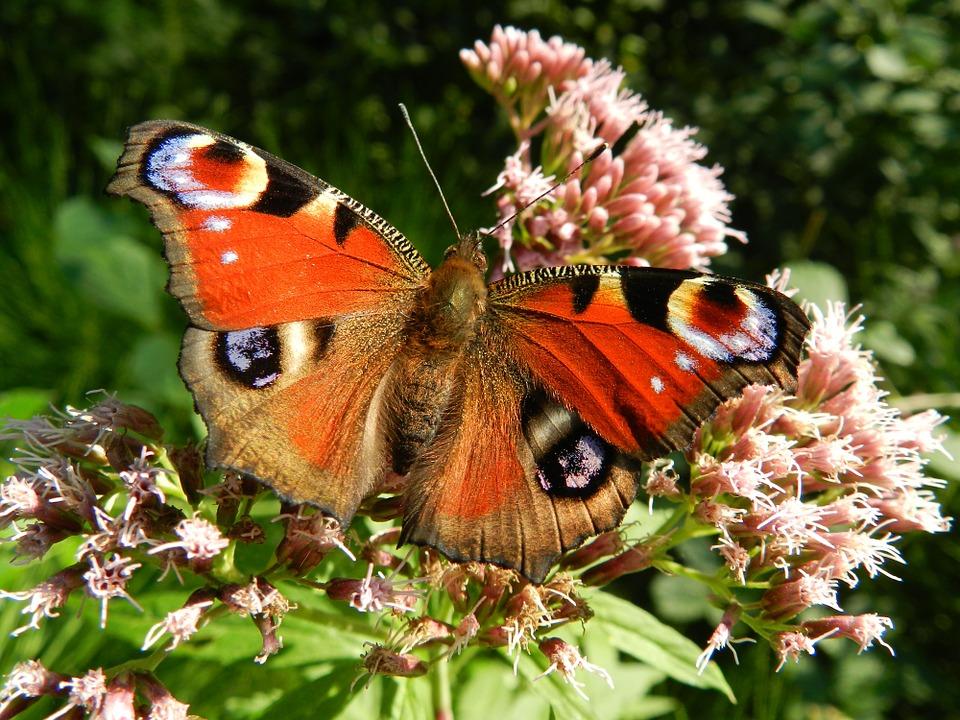 butterfly-176156_960_720.jpg