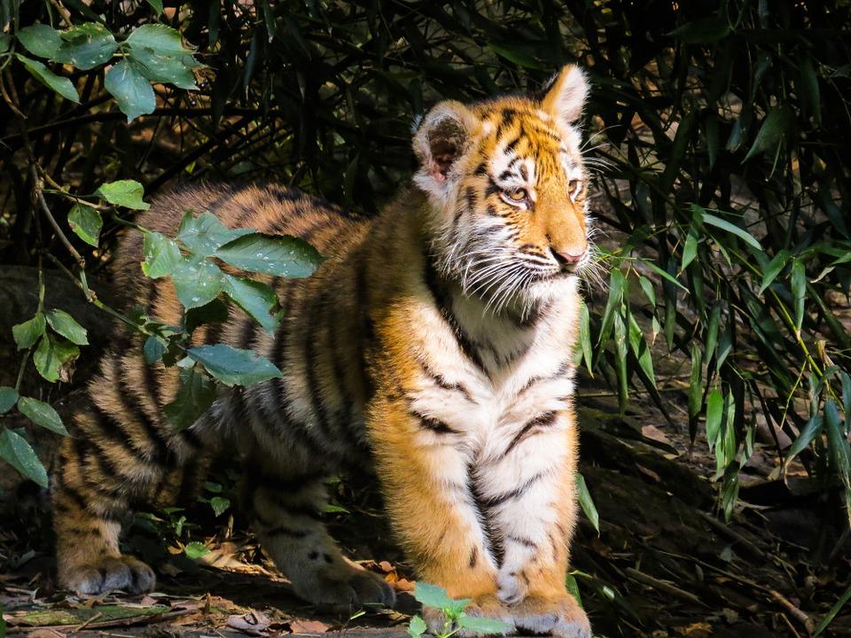 tiger-987687_960_720.jpg