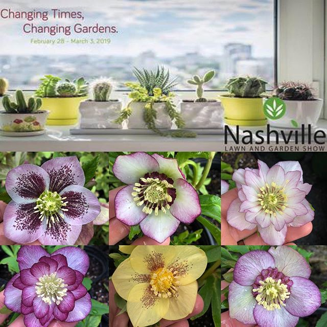 Come out next week and get some Hellebores @nashlawnandgarden show opens Thursday February 28 at 10AM. I will have plants $10-$30. 💚💚🌸💚💚 #nashvillelawnandgardenshow #helleborus #winterflowers