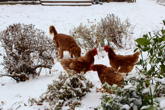 Dogs with chickens