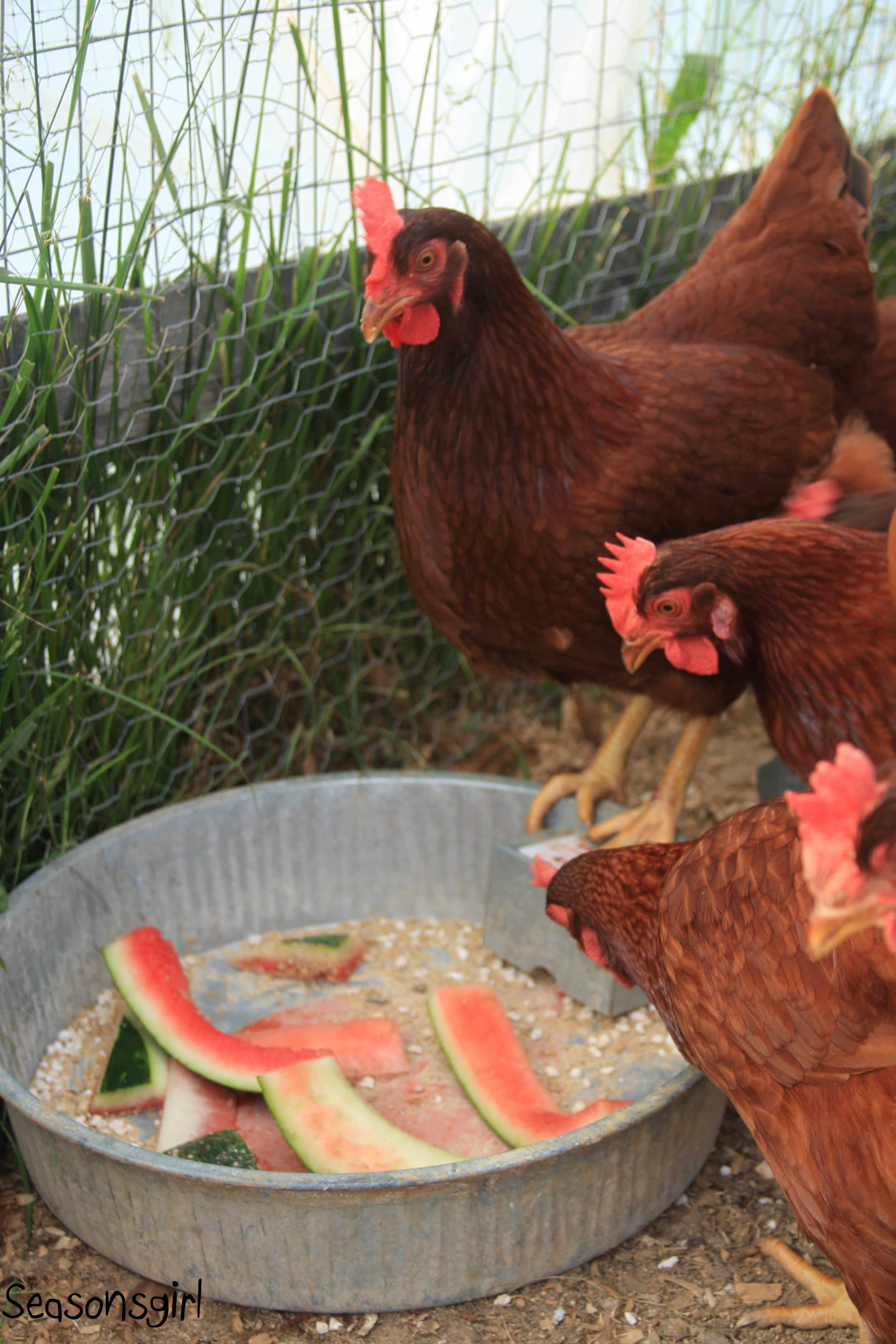 Chickens Eating Watermelon.jpg