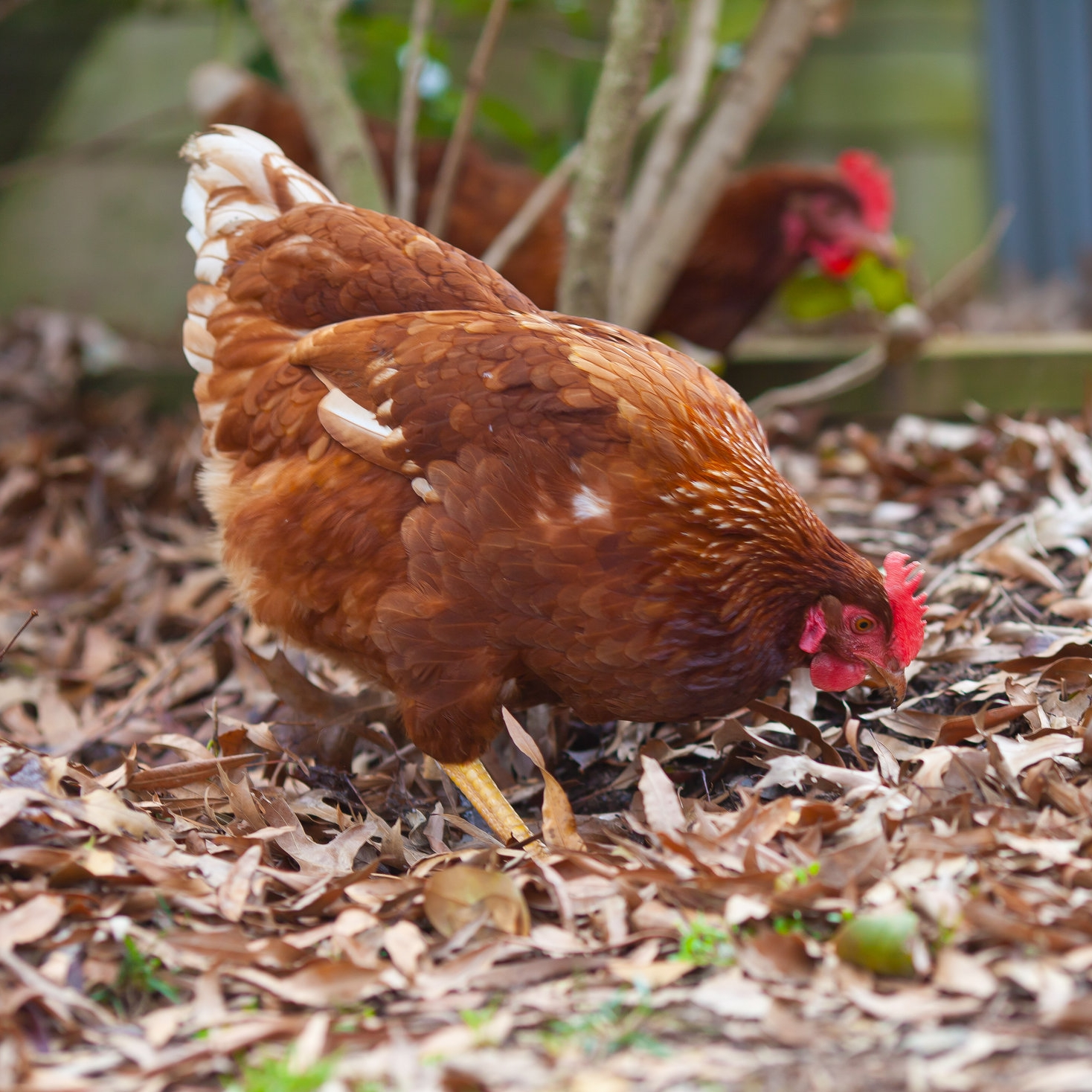 buy a hen -