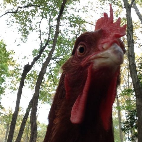 What are the benefits of raising chickens?