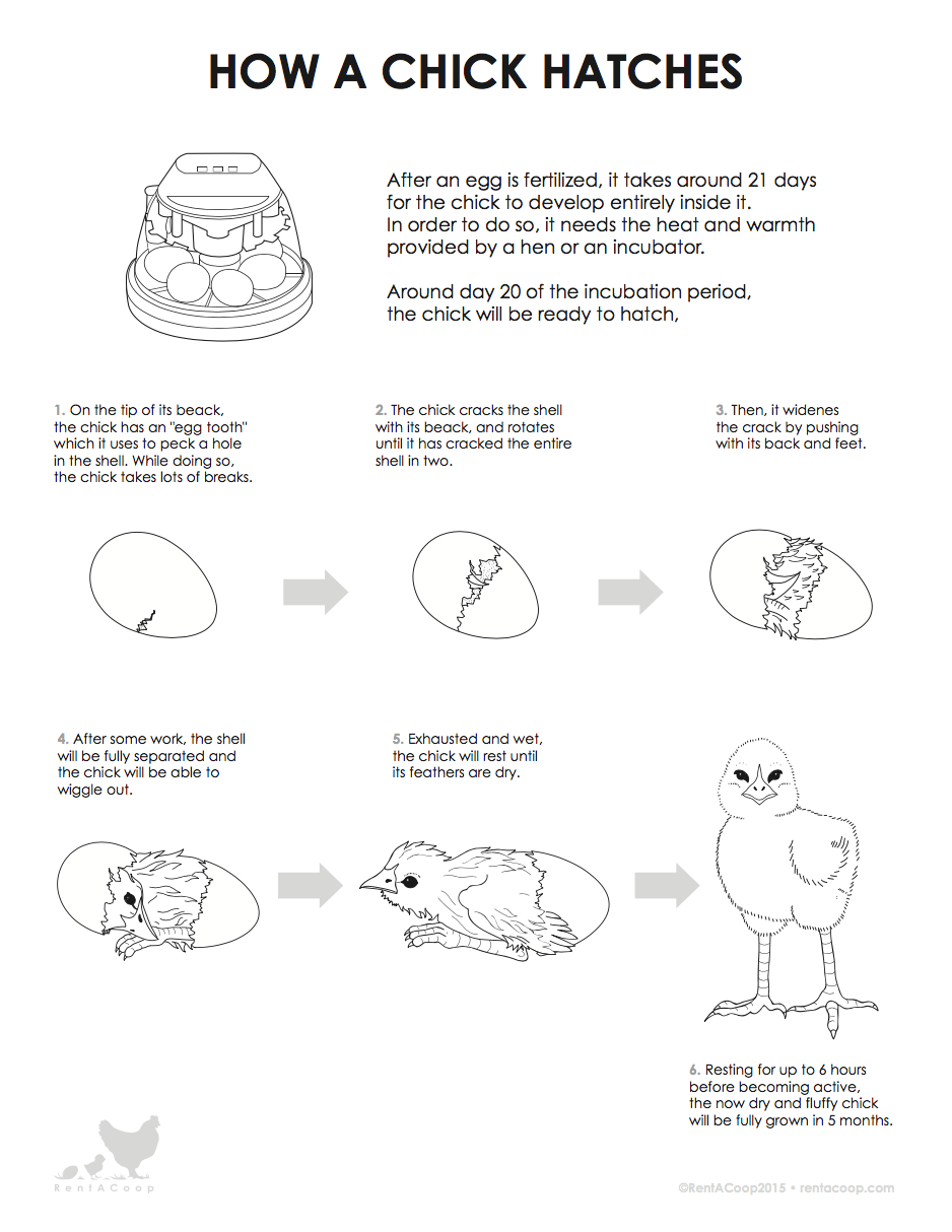 How a Chick Hatches