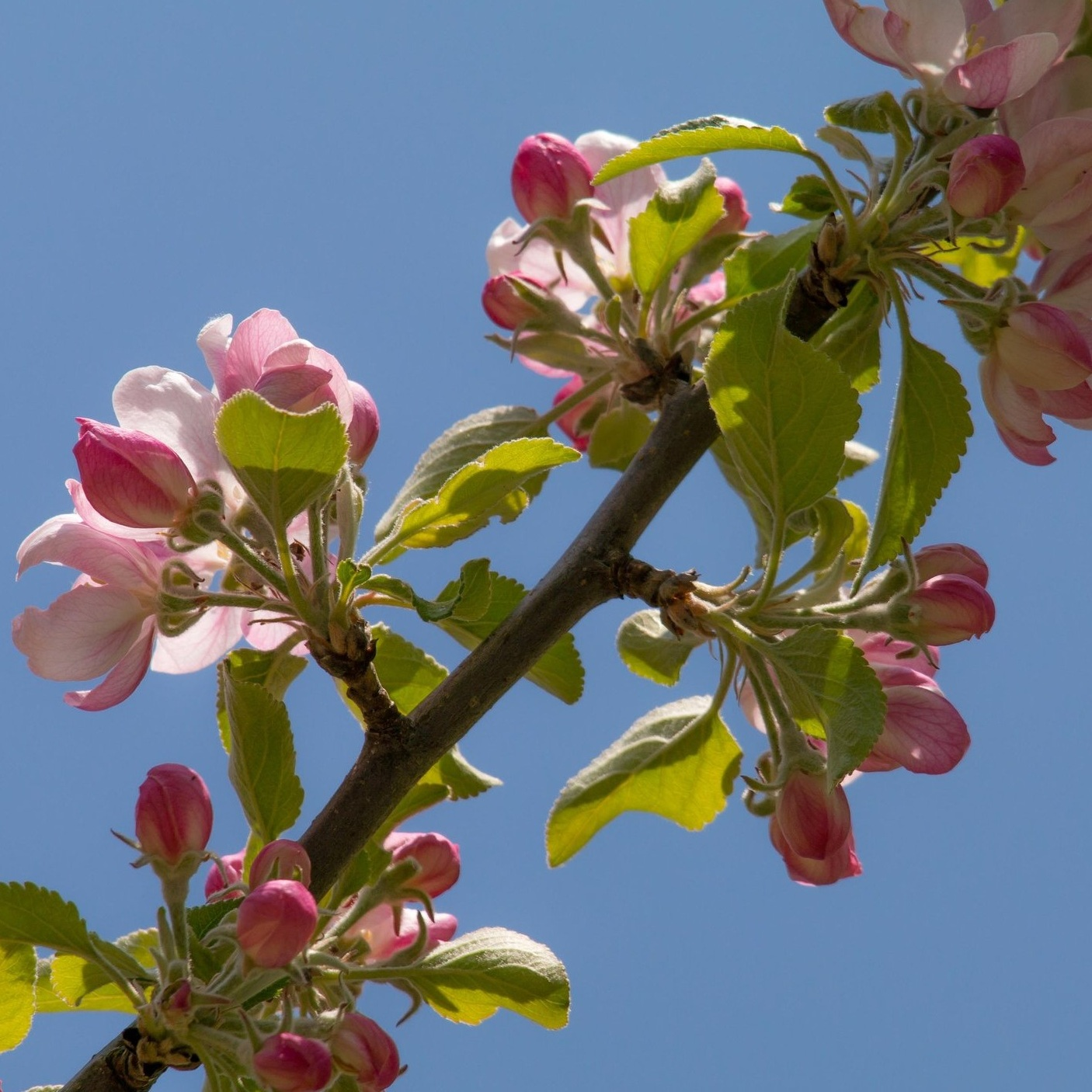 apple-blossom-736478.jpg