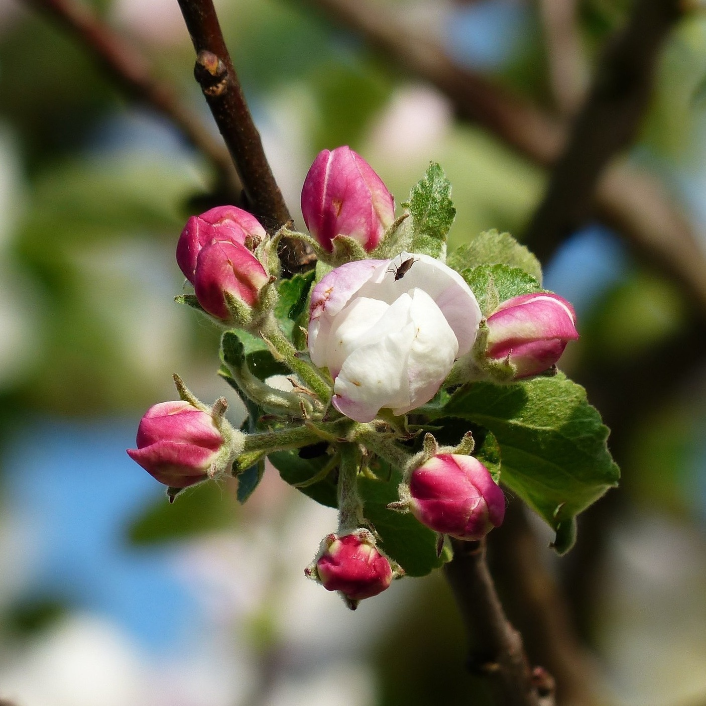 apple-blossom-apple-tree-blossom-bloom-67815.jpg
