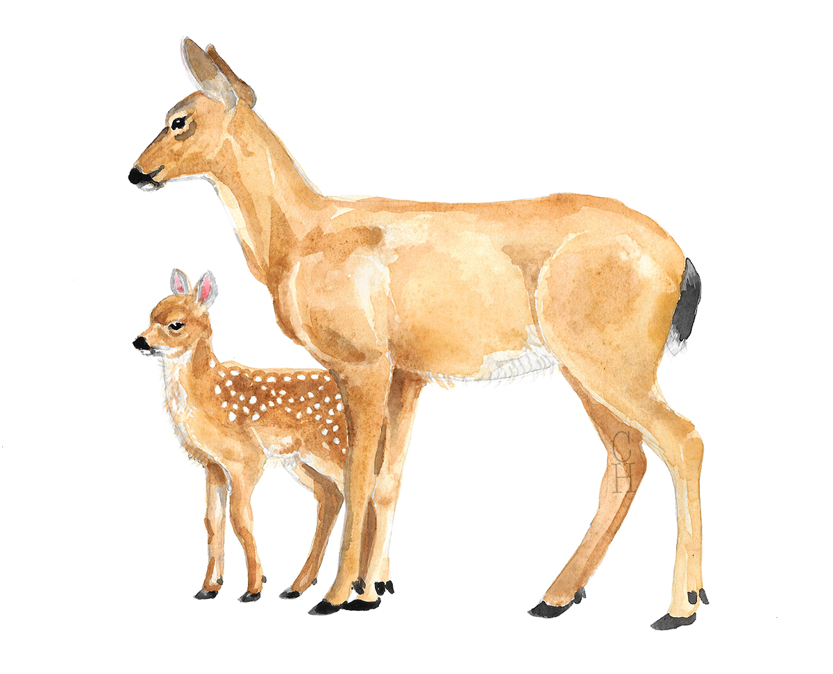 "Black Tailed Doe + Fawn  Watercolor on Paper  8"" x 10""  $465"