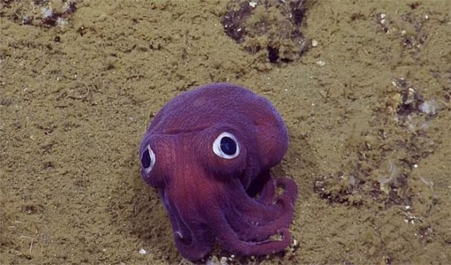Photo by  http://www.science-rumors.com/20-facts-about-dumbo-octopus-to-know-what-this-creature-is/