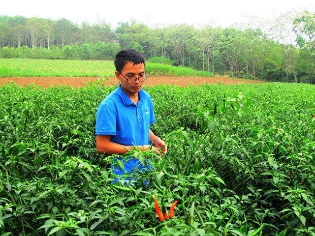 Ngoài trồng dưa vàng, Khoa còn trồng thêm ớt chỉ thiên đang cho thu nhập cao