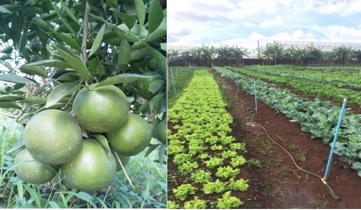 Vườn quýt Sadec Farm (Đồng Tháp) và vườn rau hữu cơ Midoli-Lâm Viên (Đức Trọng)