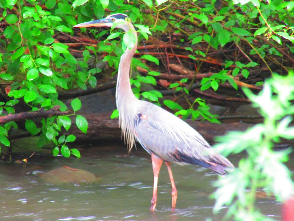 Sparkill Creek Heron