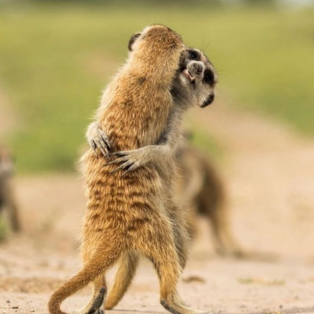 After fifty million years I've emerged from my cave with a new blog post and some EXTREMELY exciting workshop plans in the cooker. Check out the link in bio to learn about what the fresh heck a professional cuddler even is 🤷‍♀️ cute piccie of meerkats sharing some love courtesy of @earthunaltered #NPD2019 #TherapyRocks
