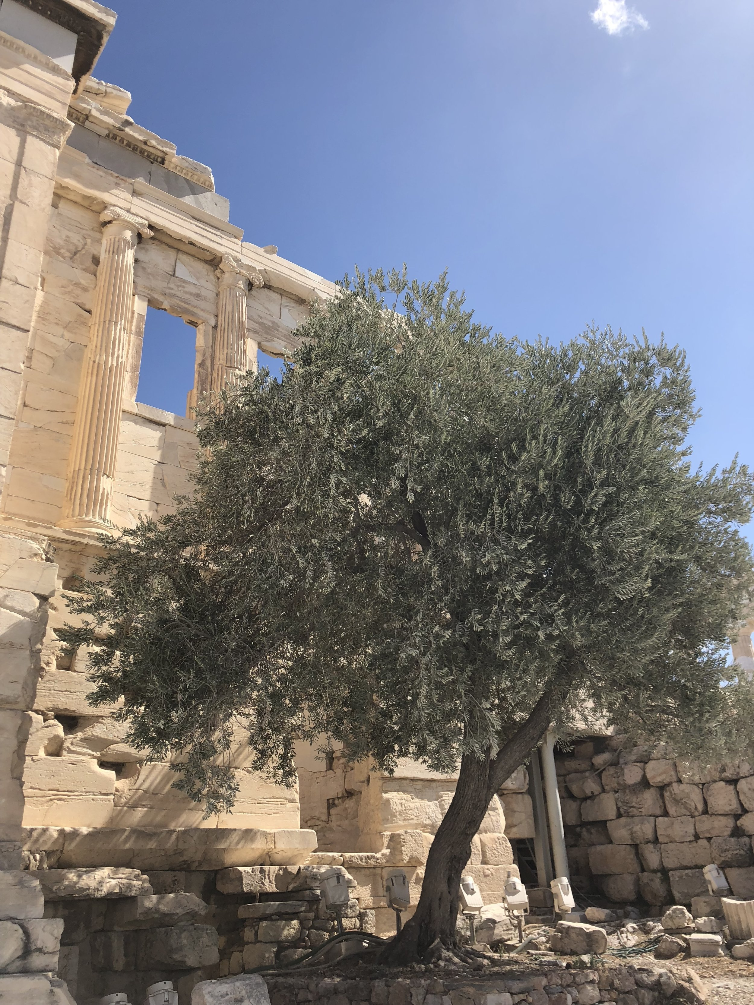 Olive Tree Outside the Erechtheion