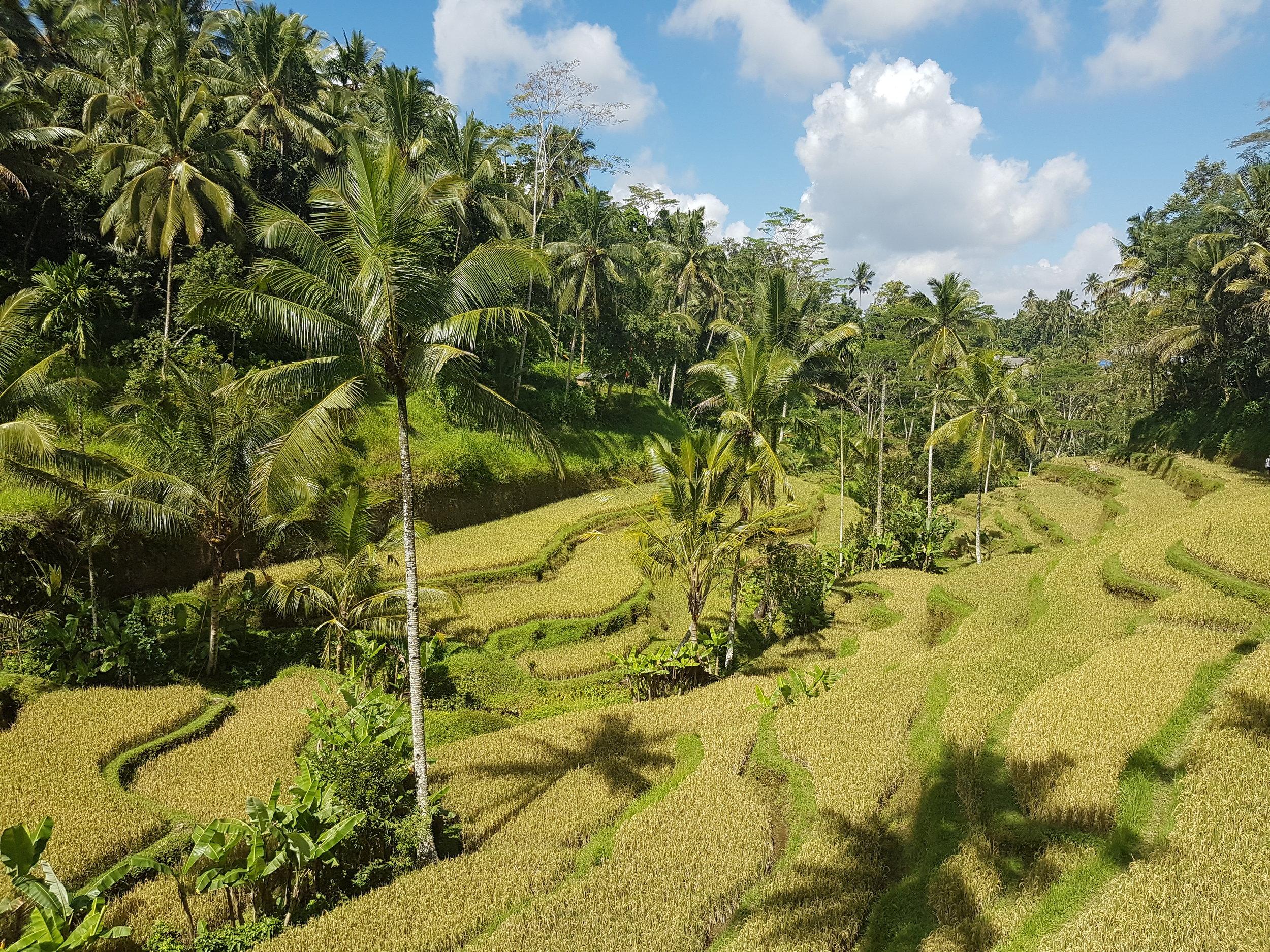 Tegallalang Rice Terraces, Ubud 2017