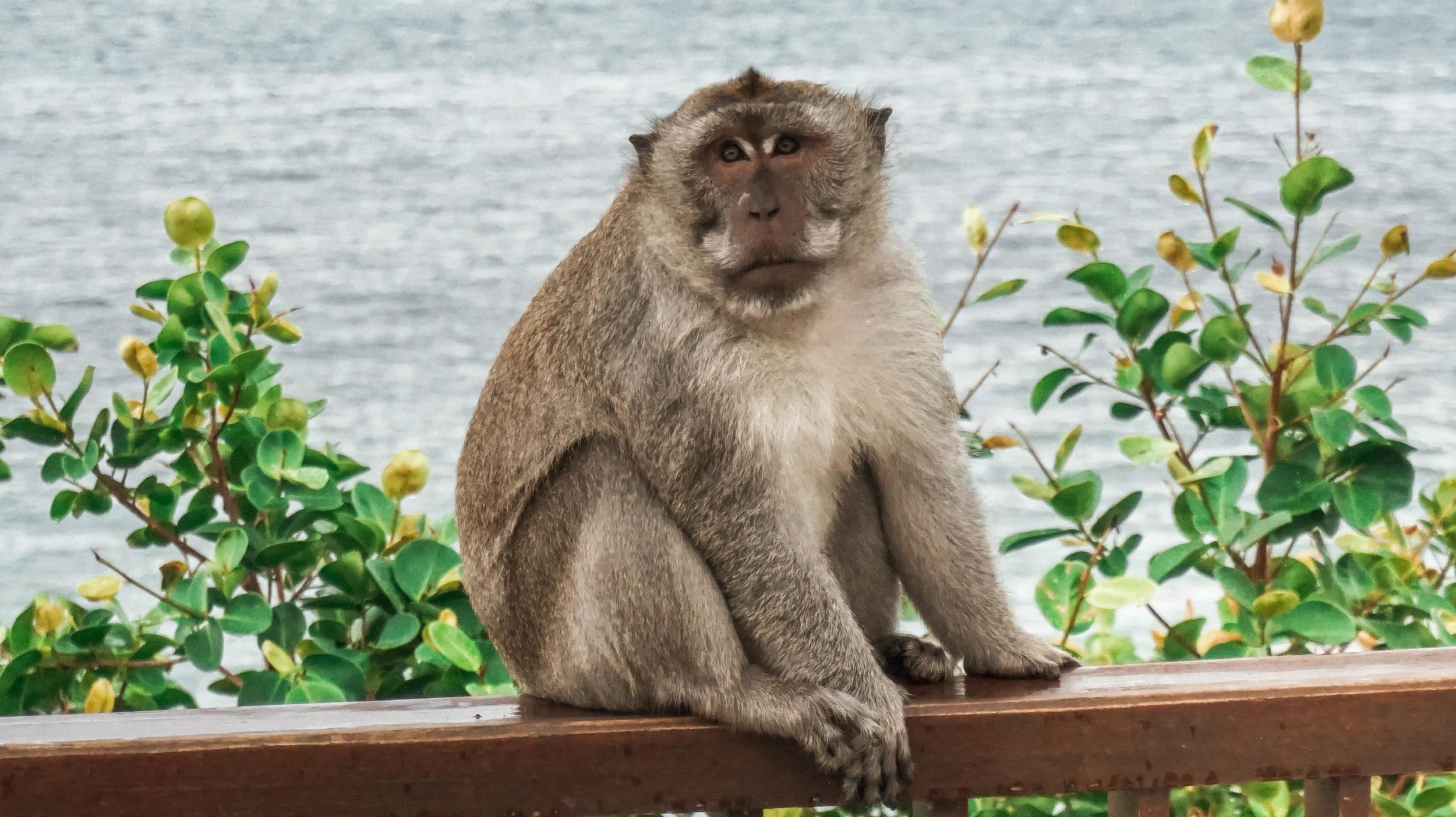 Anantara-uluwatu-bali-resort-monkey-2018.jpg