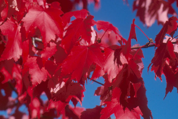 Scarlet Jewell Maple - Click on image to view all shade trees.