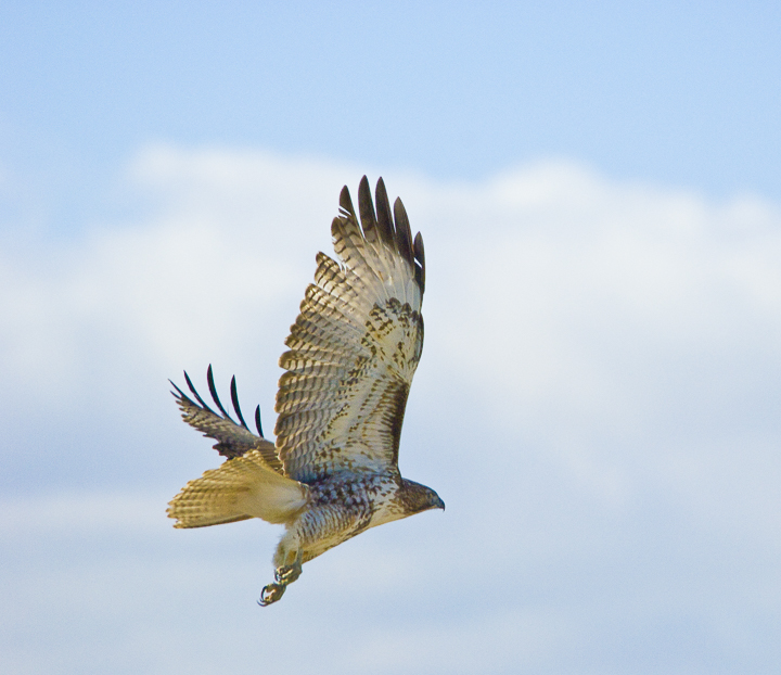 20070215__Red-tailed Hawk, Big Bend, TX_1.jpg
