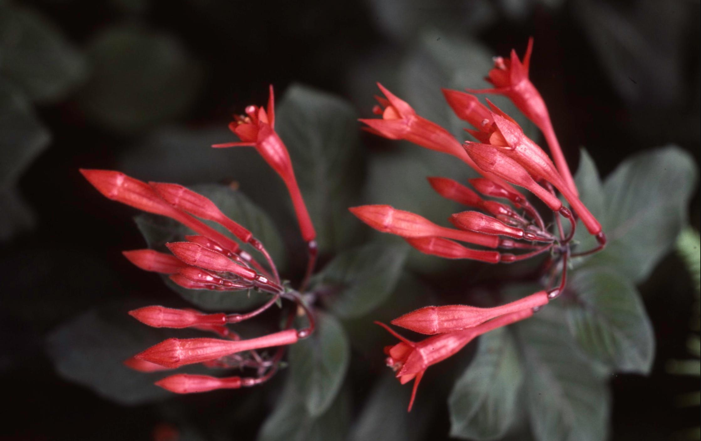 AW Red Salvia maybe.png