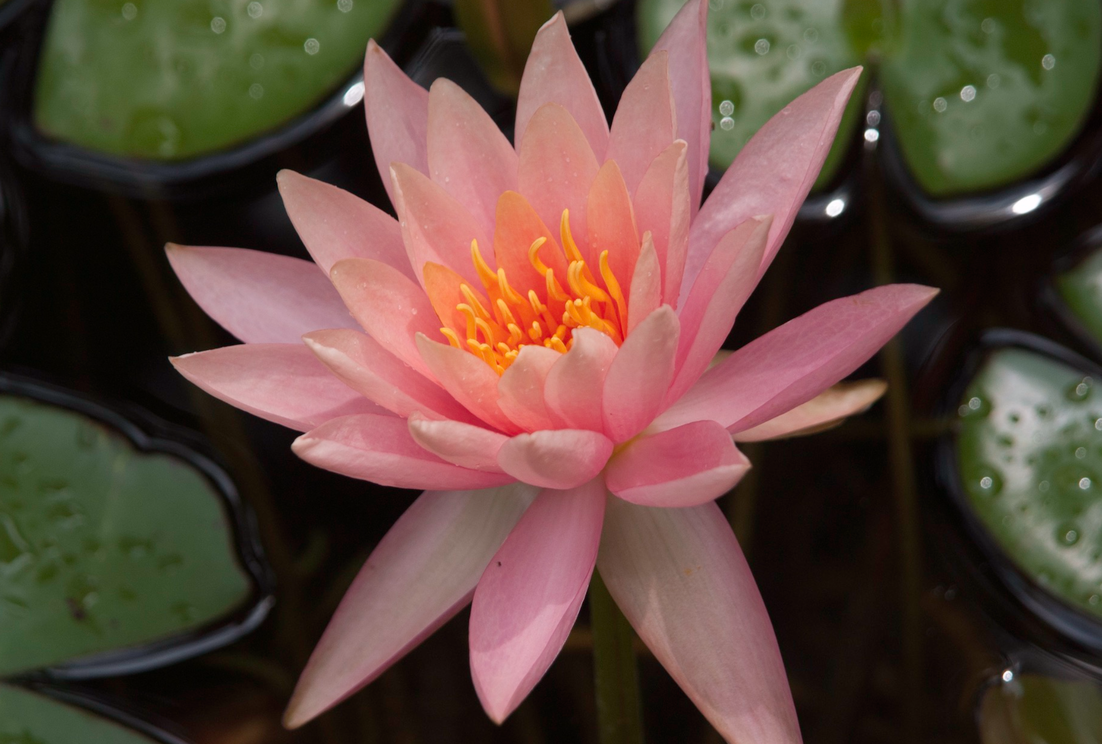 AW Pink Lily Pad Flower.png