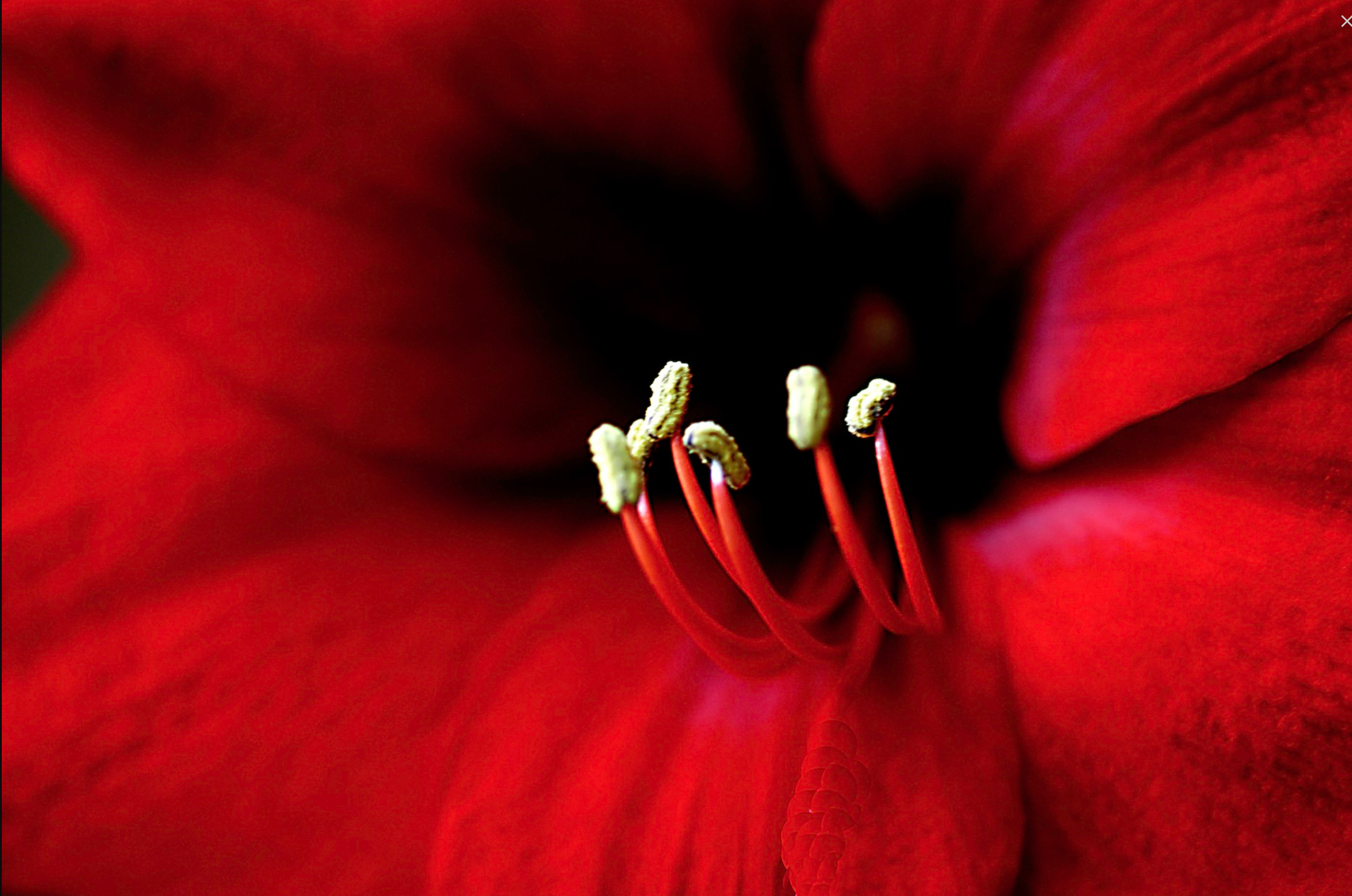 AW Close Up Red Flower.png