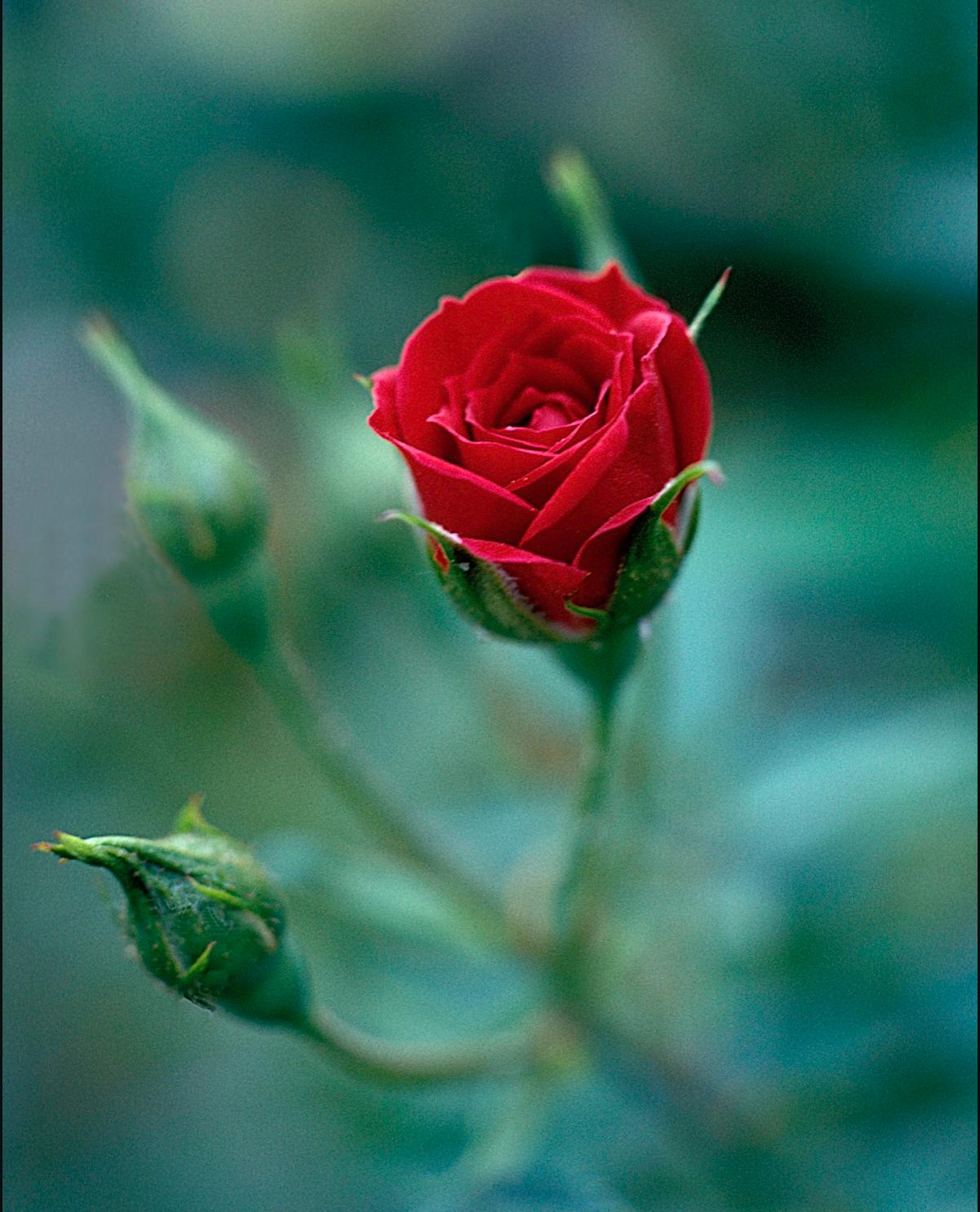 AW Rosebud.png