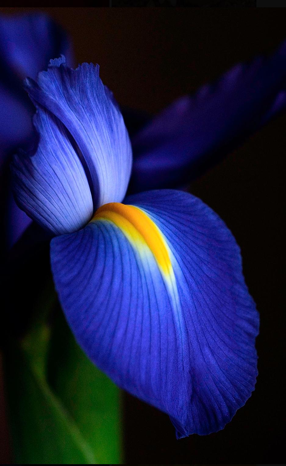 AW Blue Iris.png