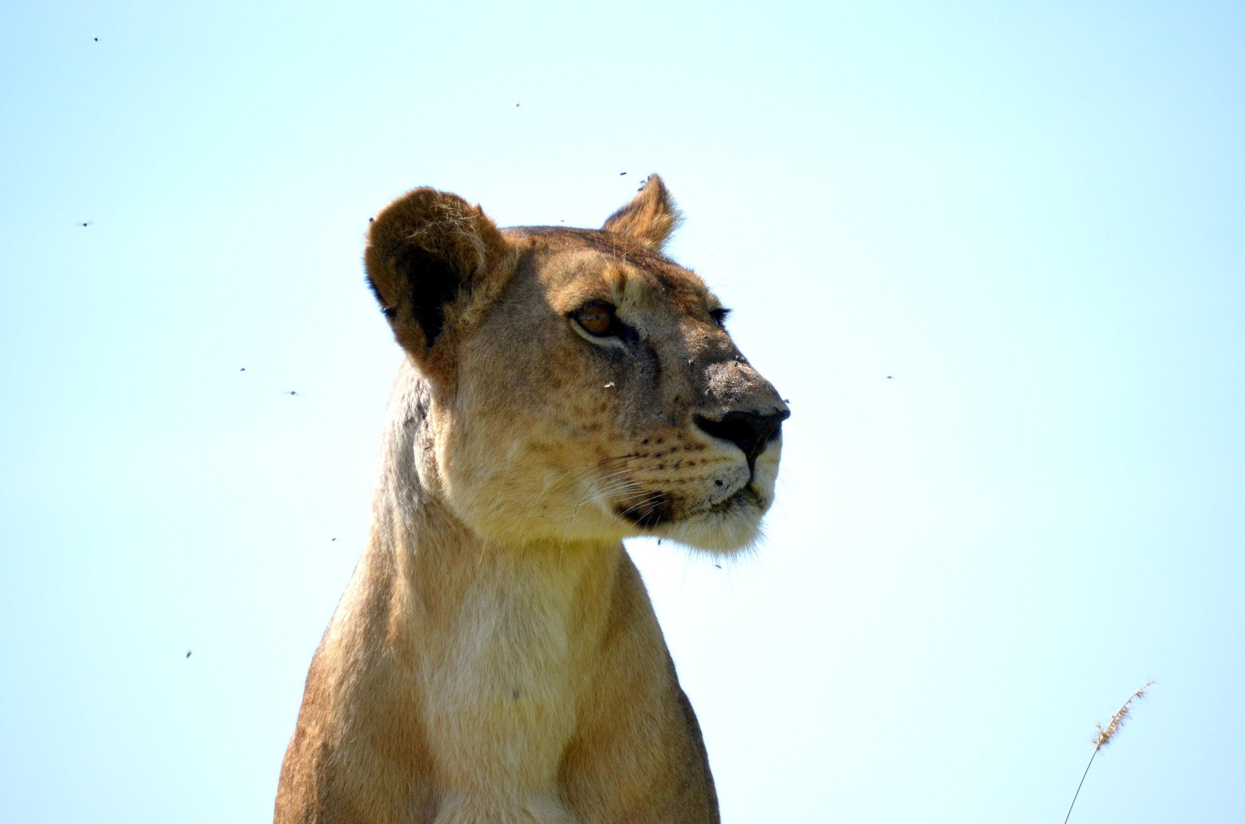 African Footprint Safaris - Lion