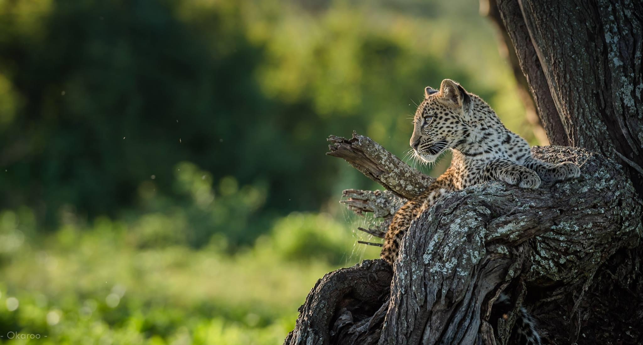 African Footprint Safaris - Leopard