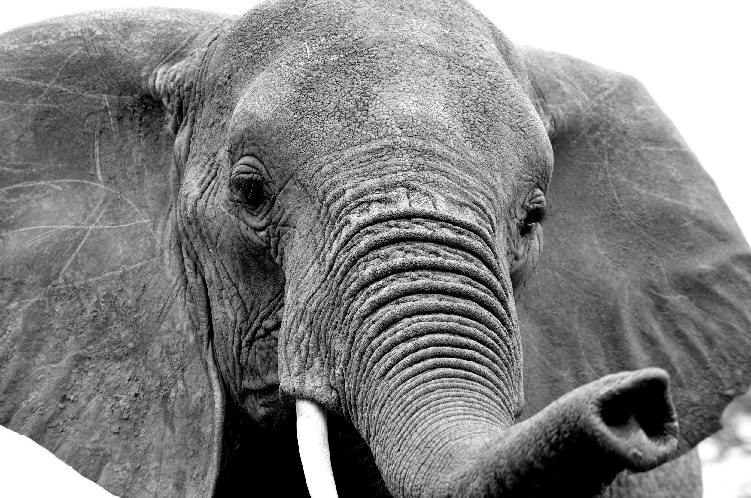 African Footprint Safaris - Elephant