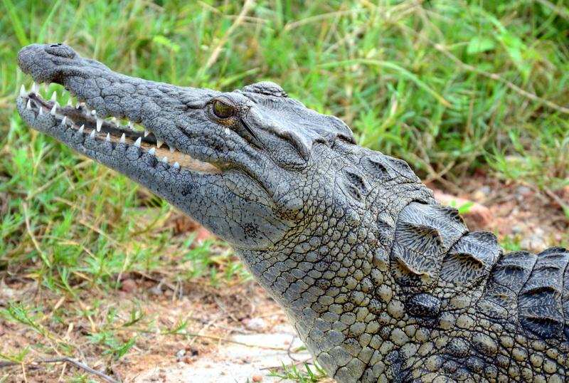 African Footprint Safaris - Croc.JPG