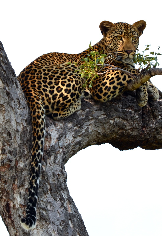 African Footprint Safaris - Leopard.JPG