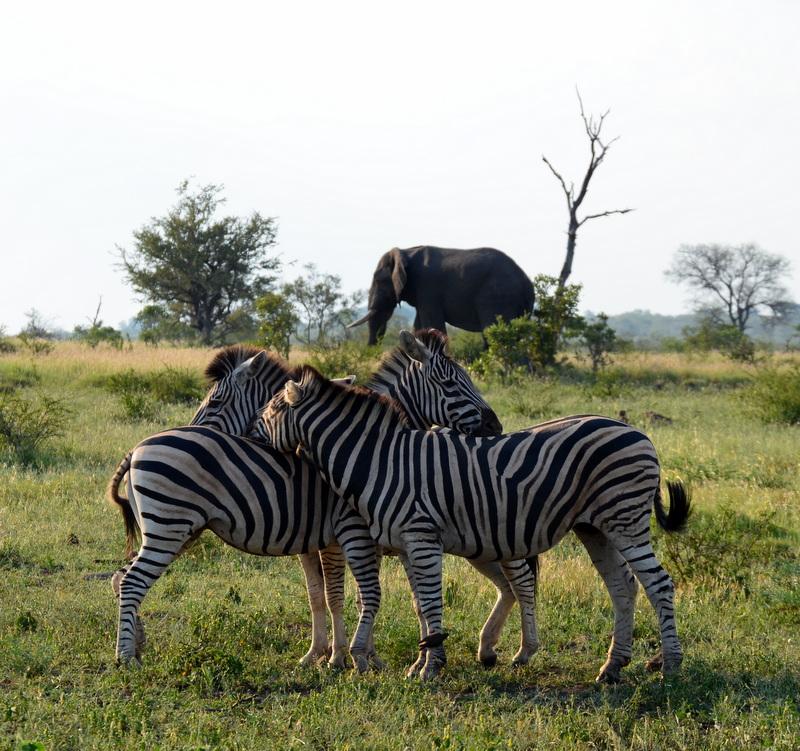 African Footprint Safaris - Zebra.JPG