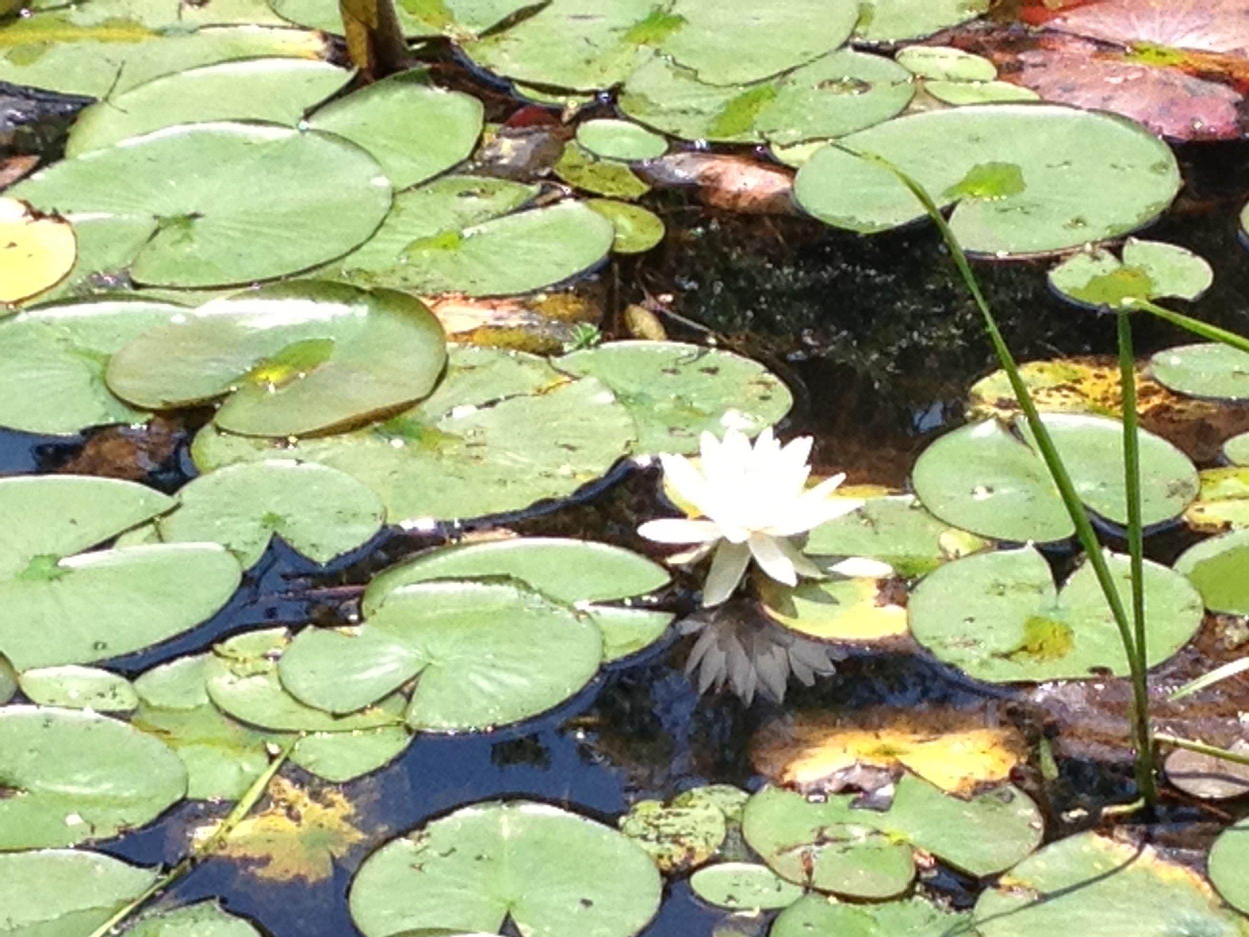 no mudno lotus -