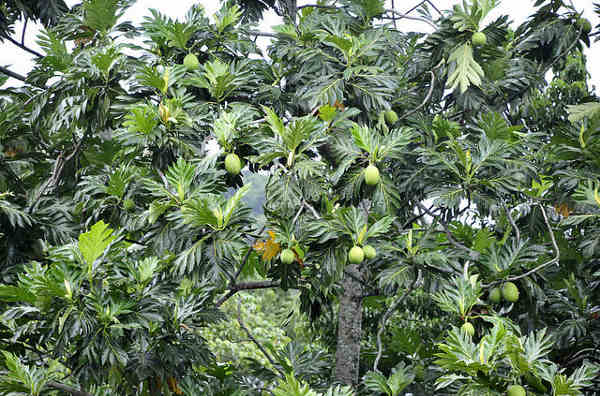 Beautiful Breadfruit Tree
