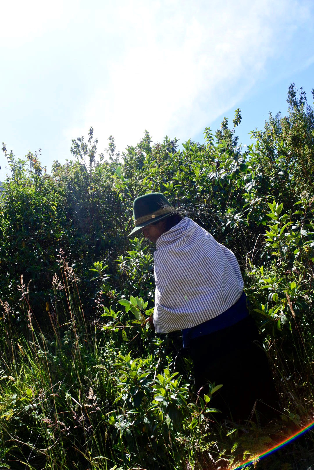 María is looking for Culcas, a plant used for its bright yellow pigment.