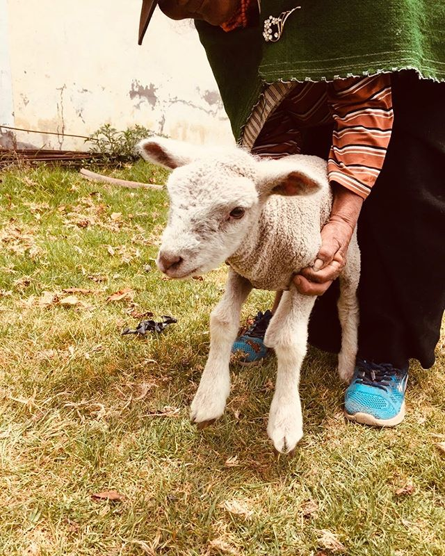 Meet Martin the new member of the gang. He's coming from a stronger breed of sheep Andes Materials have been working on. This new baby is more resistant to the weather and has amazing fur.  He will have an amazing life with us. ❤️ #farming #sheep #veterinarycare #sustainablefashion #fashion #slowfashion #handmade #andes #whomademyclothes #salasaka #ecuador  #white #oveja