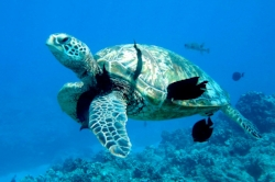 Snorkeling with Hawaiian Green Sea Turtle