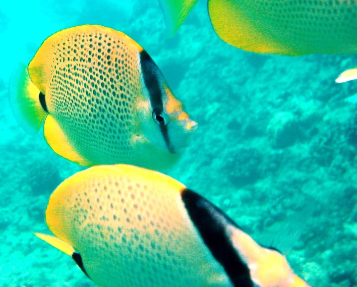 Snorkeling with tropical fish at turtle canyon waikiki
