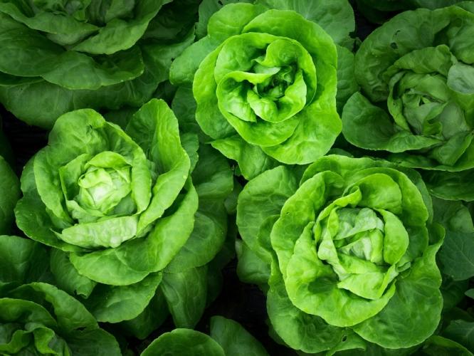 Local Organic Lettuce