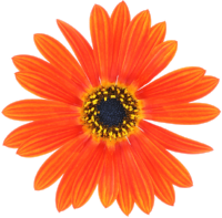 Flower Orange.png