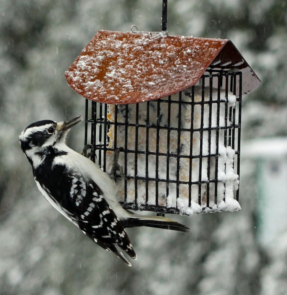 Bird-Woodpecker-SuetFeederB.jpg