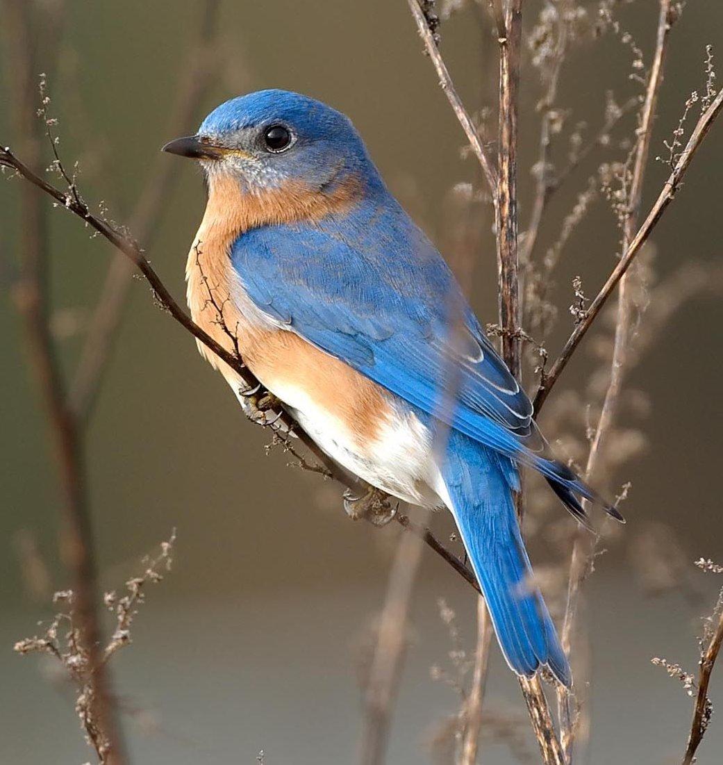 Bird-BlueBird-Twigs-Wc.jpg