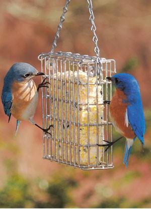 Birds-Bluebirds-SuetFeederW.jpg