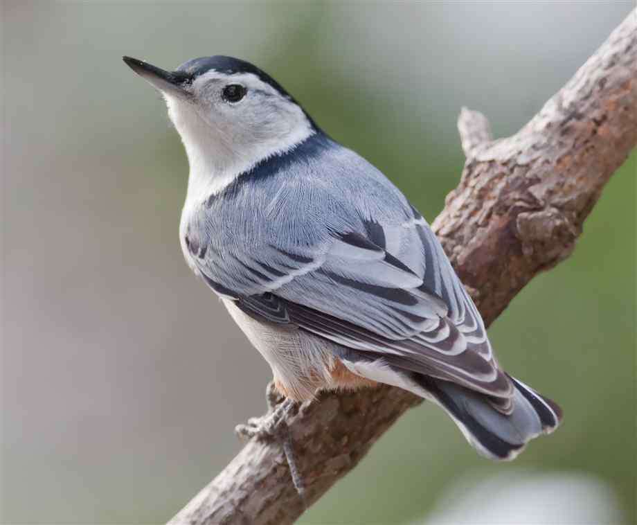 Bird_Nuthatch_White-Breasted_B_w.jpg