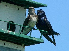 Bird-PurpleMartinSW.jpg