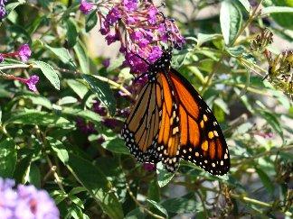 ButterflyMonarchBBushSW.jpg