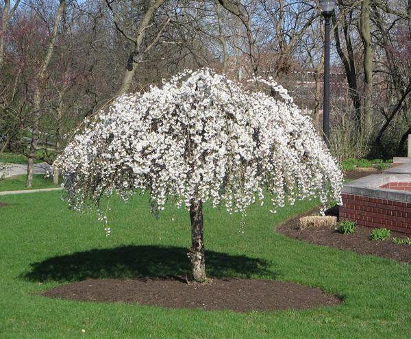 Cherry_Tree_Snow_Fountains_w.jpg